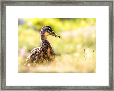 Warm Summer Morning And A Duck Framed Print