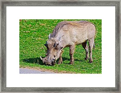 Warthog In Addo Elephant Park Near Port Elizabeth-south Africa  Framed Print