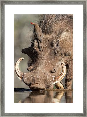 Warthog With Ox-pecker At A Watering Hole Framed Print by Tony Camacho