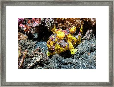Warty Frogfish On A Reef Framed Print
