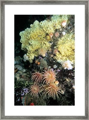 Warty Sponge Melonanchora Elliptica Framed Print by Andrew J. Martinez