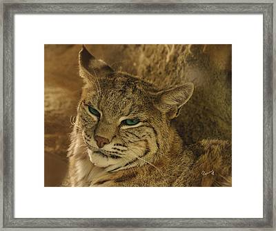 Wary Bobcat Framed Print