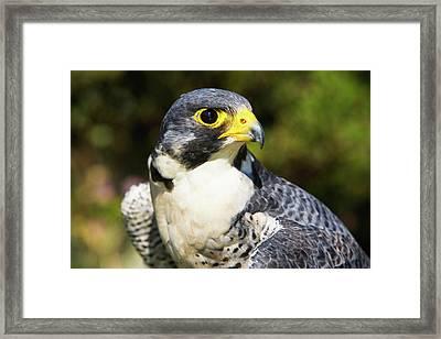 Wary Eye Of Peregrine Falcon Framed Print