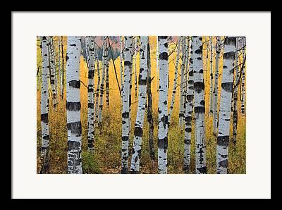 Fall Aspens Framed Prints