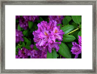 Washington Coastal Rhododendron Framed Print
