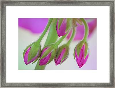 Washington Geranium Buds Close-up Framed Print