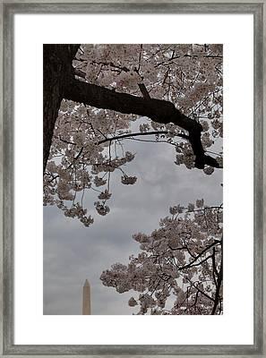 Washington Monument - Cherry Blossoms - Washington Dc - 011318 Framed Print by DC Photographer