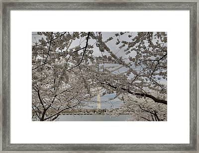 Washington Monument - Cherry Blossoms - Washington Dc - 011323 Framed Print by DC Photographer