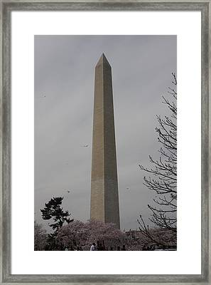 Washington Monument - Cherry Blossoms - Washington Dc - 01135 Framed Print