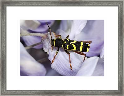 Wasp Beetle Framed Print by Nigel Downer