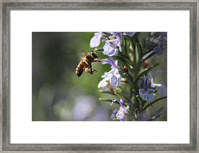 Wasp Pollenating Framed Print by Martin Newman