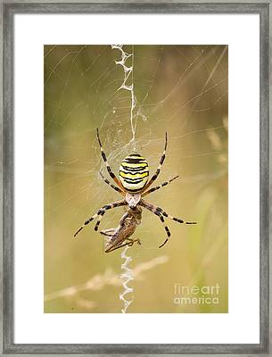 Wasp Spider With Prey Framed Print