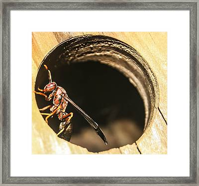 Wasp Framed Print by Steven  Taylor