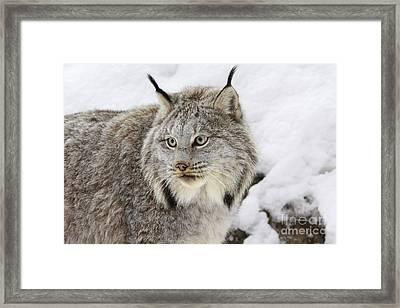 Watchful Canadian Lynx Framed Print by Inspired Nature Photography Fine Art Photography