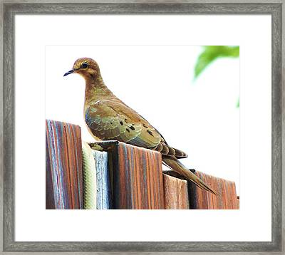 Watchful Dove Framed Print by Helen Carson