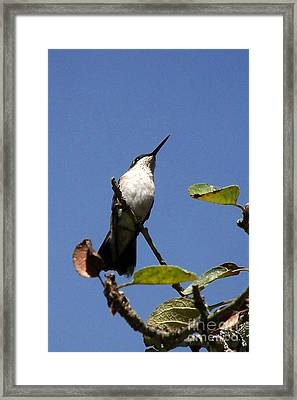 Watchful Female Hummingbird  Framed Print by Eunice Miller