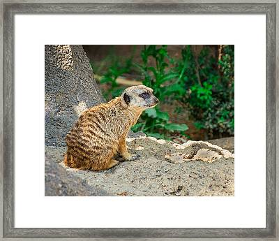 Watchful Meerkat Framed Print by Jon Woodhams
