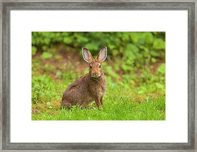Watchful Snowshoe Hare In Summer Phase Framed Print by Michael Qualls