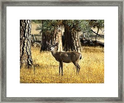 Watchful Young Buck Framed Print