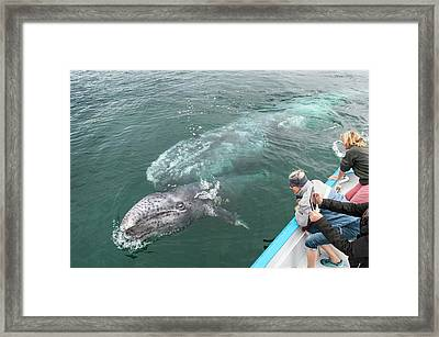 Watching Gray Whales Framed Print by Christopher Swann