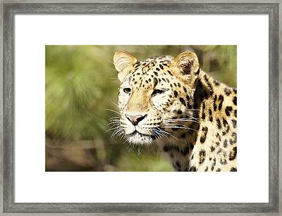 Watching Leopard Framed Print