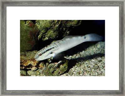 Watchman Goby By Rocks Framed Print