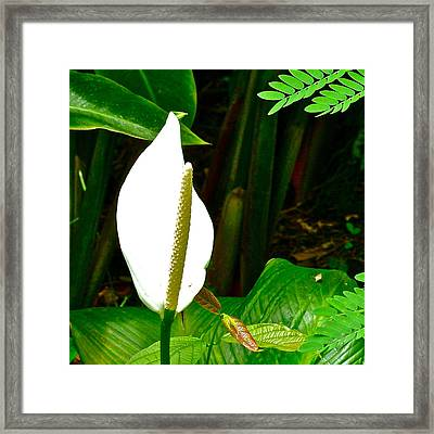 Water Arum In Park Across From Wat Phrathat Doi Suthep In Chiang Mai-thailand. Framed Print