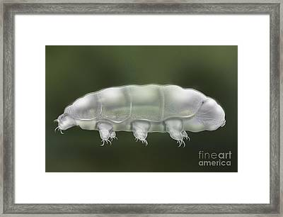 Water Bear Tardigrada - Waterbear Tardigrade  - Scientific Illustration Framed Print