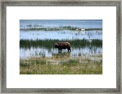 Water Buffalo At Lake Nakuru Framed Print