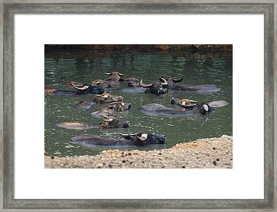 Water Buffalo Framed Print