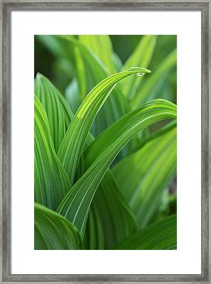 Water Drop On Green False Hellebore Framed Print by Macduff Everton