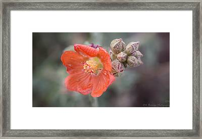 Water Drops On A Globemallow Framed Print