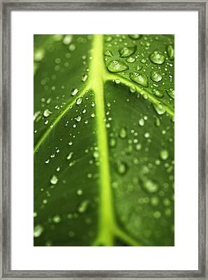 Water Drops On A Leaf Framed Print by Vishwanath Bhat