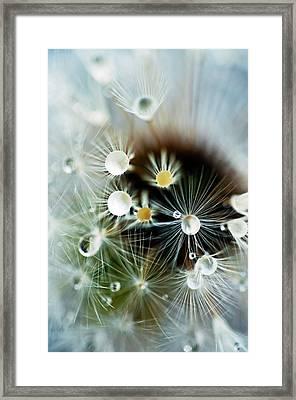 Water Drops On Dandelion Seed Head Framed Print