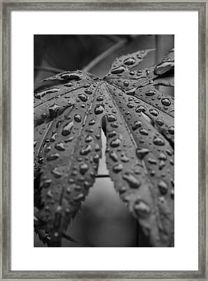 Framed Print featuring the photograph Water Drops On Maple Leaf by Bob Noble Photography