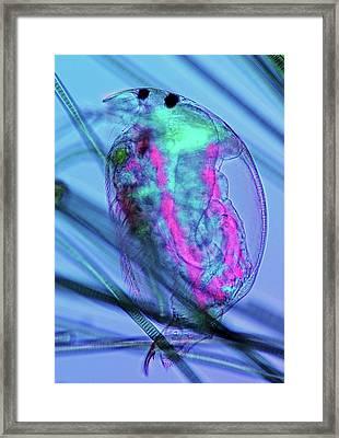 Water Flea And Cyanobacteria Framed Print by Marek Mis