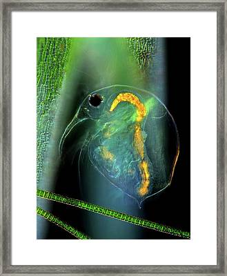 Water Flea And Desmid On Sphagnum Moss Framed Print