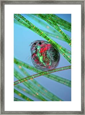 Water Flea And Spirogyra Framed Print by Marek Mis