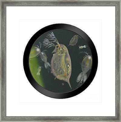 Water Flea - Water Fleas - Daphnia - Wasserfloh - Fine Art Print - Stock Illustration - Stock Image  Framed Print