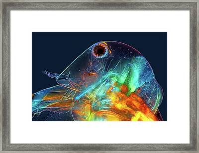 Water Flea Head Framed Print