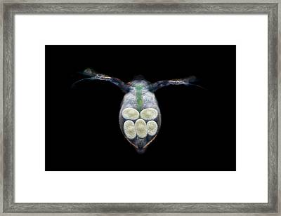 Water Flea With Eggs Framed Print by Frank Fox