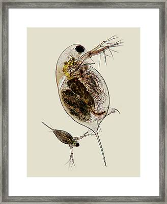 Water Fleas Framed Print by Marek Mis
