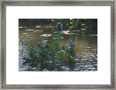 Water Flower Framed Print