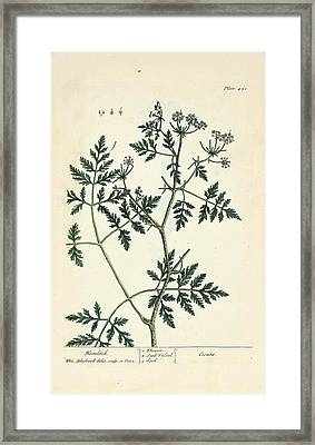 Water Hemlock Plant Framed Print by National Library Of Medicine