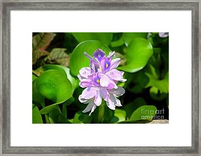 Water Hiacynth Framed Print