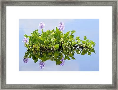 Water Hyacinth 1 Framed Print by Sheri McLeroy