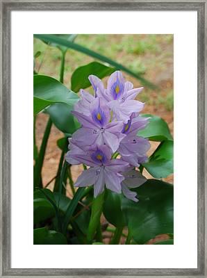 Water Hyacinth Framed Print by Robert Floyd
