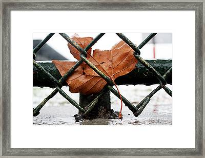 Water Leaf Framed Print by Mark Ashkenazi