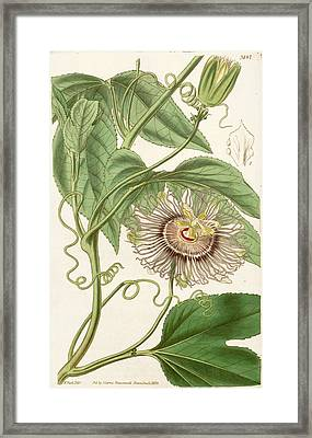 Water Lemon Passion Flower  Framed Print by Celestial Images