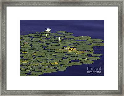 Framed Print featuring the photograph Water Lilies by Les Palenik